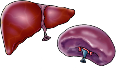 liver-and-spleen-balloons-png_1625_22_6